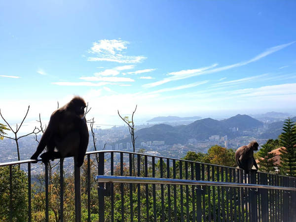A Pair Of Dusky Leaf Monkeys At Penang Hill