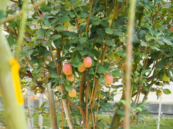 Apple Trees In Agro Technology Park MARDI In Cameron Highlands