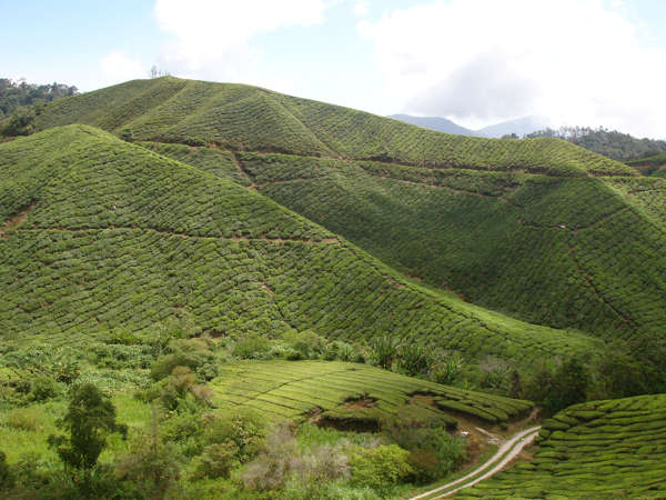 Beautiful Scenery At Sungai Palas BOH Tea Estate