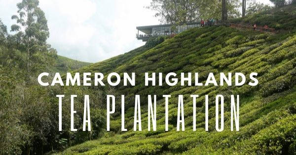 4 Best Cameron Highlands Tea Plantation: BOH Tea Plantation And More! (2021)