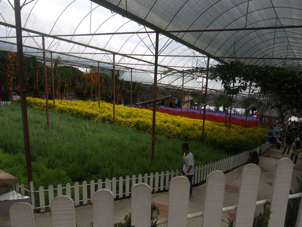 Different fields of flowers at the Lavender Garden in Cameron Highlands