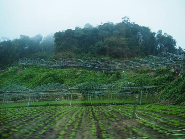 Driving past a farm on the way to the mossy forest in Brinchang, Cameron Highlands