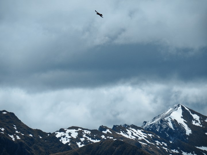 Falcon soaring in the mountains seen from the Mount Burn Tarns track in Fiordland - more on this trail on www.travelswithsun.com