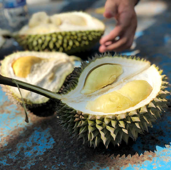 Freshly Opened Durian At Song Hai Durian Orchard, Telok Kumbar Penang