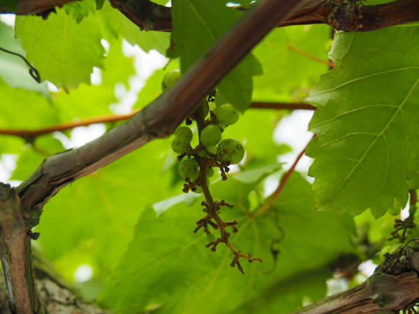Grapes Growing At Agro Technology Park MARDI Cameron Highlands