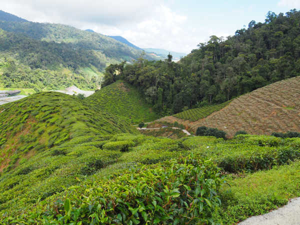 Kuala Terla Tea Estate In Cameron Highlands