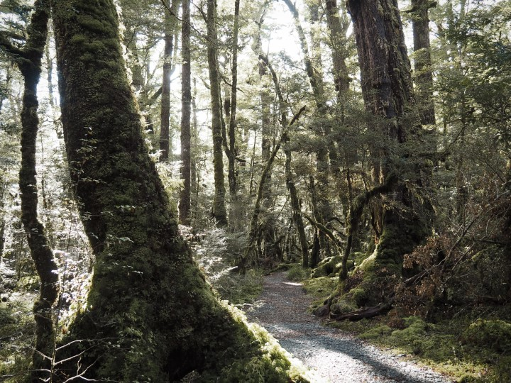 Lake Gunn walk goes through mossy forest- One of the highlights in our 1 month self-drive trip around New Zealand during winter. More on www.travelswithsun.com
