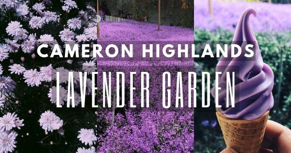 Lavender Garden – The Only Lavender Farm In Cameron Highlands (2021 Guide)