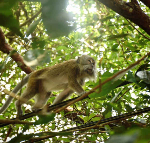 Macaque Seen At Penang National Park