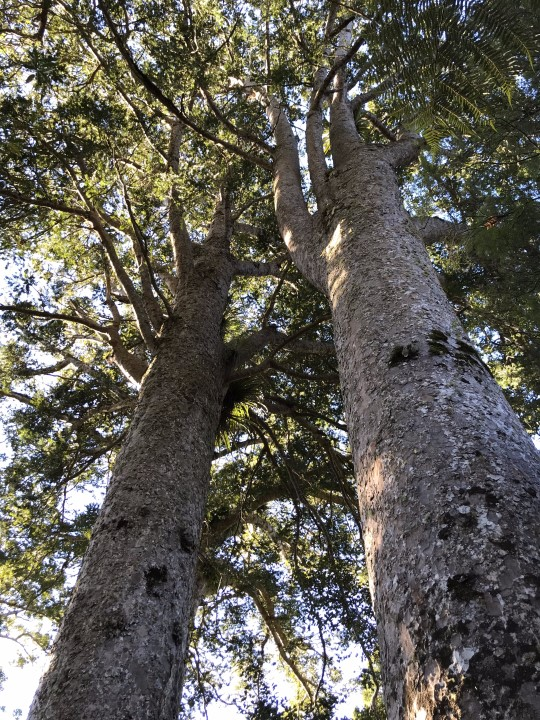 One of the kauri groves in Coromandel Peninsula - more on www.travelswithsun.com
