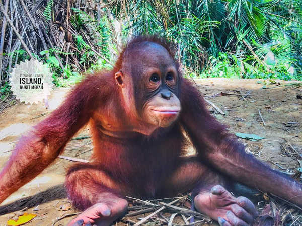 One of the young orangutans at Bukit Merah Orang Utan Island
