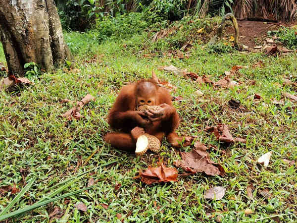 Orangutan enjoying durian