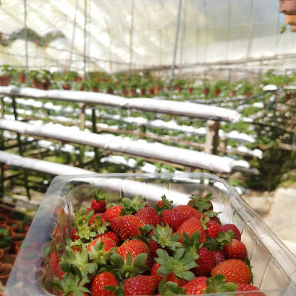 Things to do in Cameron Highlands - Pick your own strawberries at Cameron Highlands
