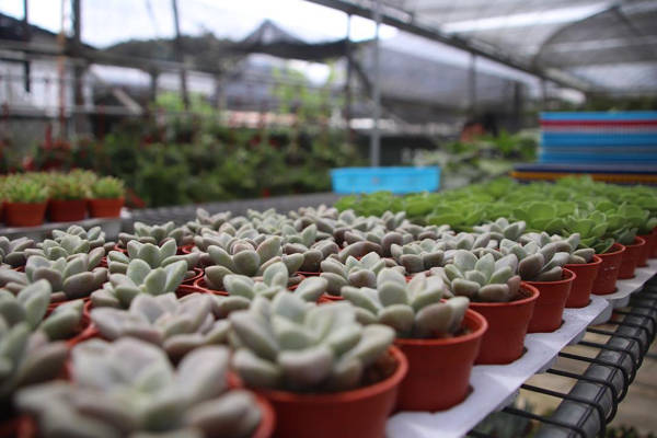 Rows Of Succulents At Agro Technology Park MARDI Cameron Highlands