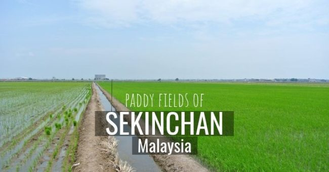 Sekinchan Paddy Fields of Malaysia - more on www.travelswithsun.com