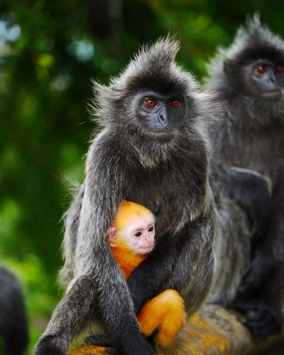 Silver leaf monkeys can be seen on Bukit Melawati, Kuala Selangor - photo credits to athena_starfish (Instagram)