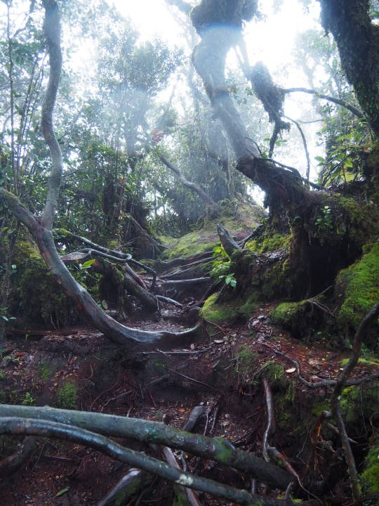 Slippery roots in the mossy forest of Cameron Highlands