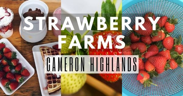 11 Best Strawberry Farms In Cameron Highlands (Breakdown Guide 2021)