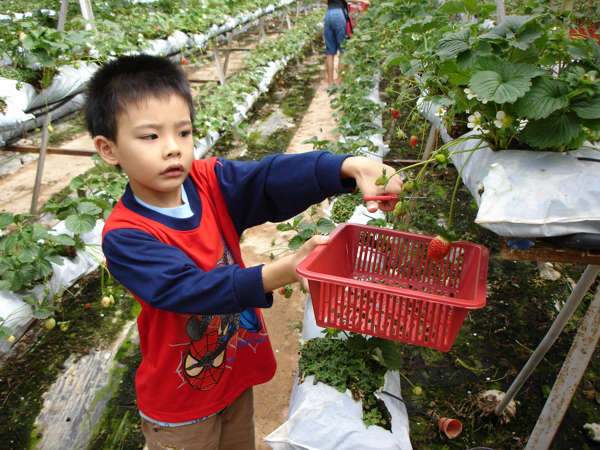 Strawberry picking at Cameron Highlands is fun for all ages