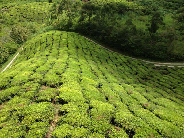 Tea Estate In Cameron Highlands