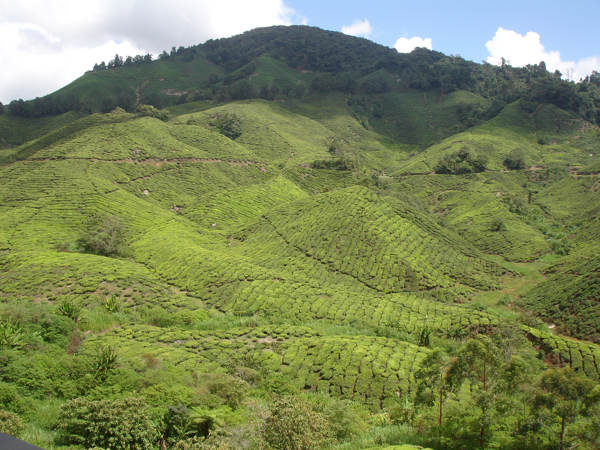 The Vast Tea Estate At Sungai Palas Belonging To BOH Plantations