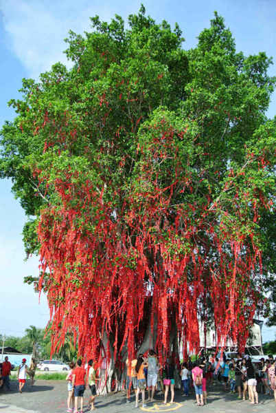 The famous wishing tree at Sekinchan