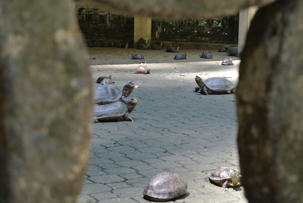 Tortoises In Their Compound At Sam Poh Tong Cave Temple In Ipoh