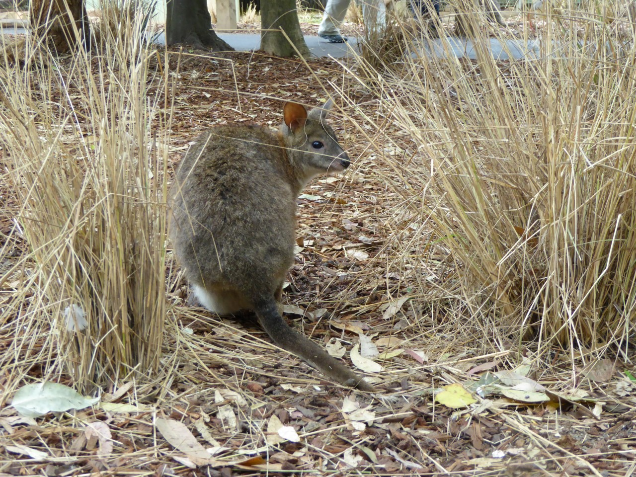 Wallaby at Featherdale wildlife park