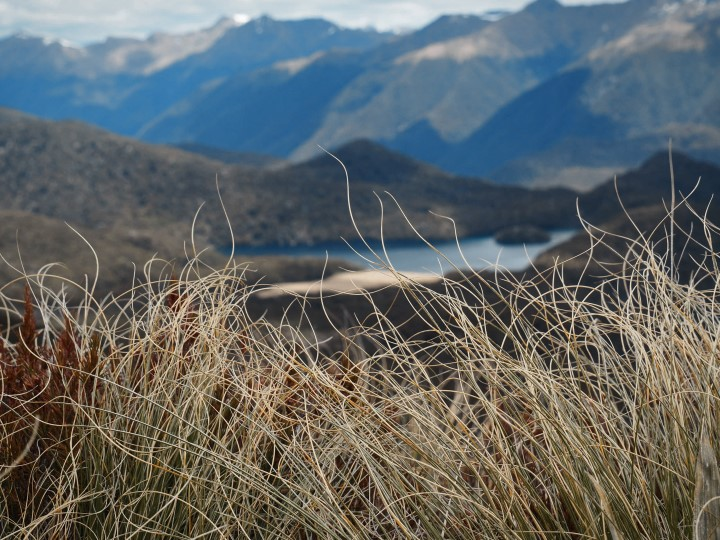 Wild grass at Mount Burn Tarns track in Fiordland - more on www.travelswithsun.com